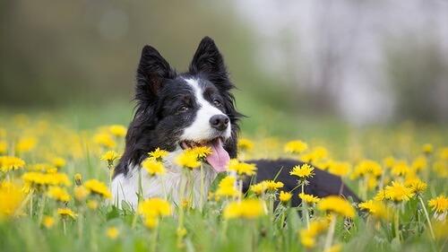 smartest dogs 10