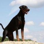 smartest dogs 5