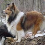 smartest dogs 6